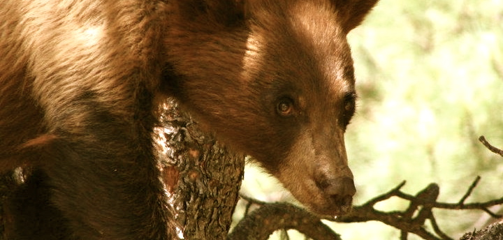 Threats To Black Bears