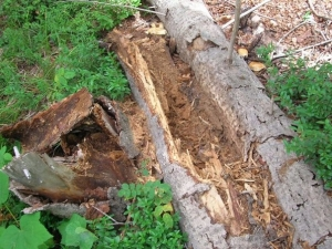log ripped up for insects