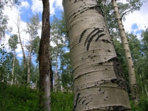 claw marks on aspen