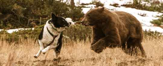 Non-Lethal Bear Management