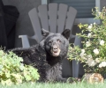 Contrasting views on bear problem causes